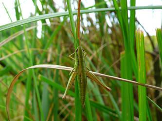 Grasshopper by kffiot