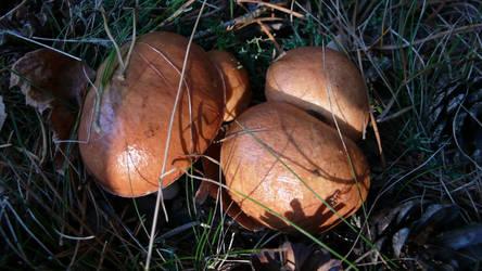 Mushrooms by kffiot