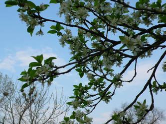 Cherry - tree by kffiot