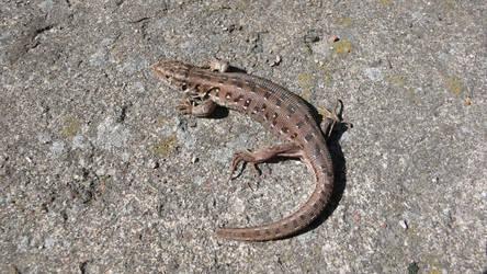 Lizard by kffiot