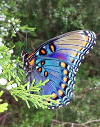 Black and Blue Swallowtail Butterfly 3 by BackyardBirder