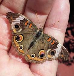 Buckeye Butterfly 2017 by BackyardBirder