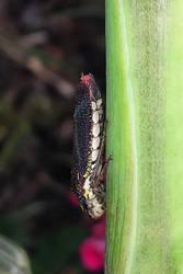 Speckled Sharpshooter bug by BackyardBirder