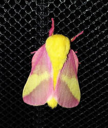 Rosy Maple Moth by BackyardBirder