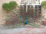 Peacock in India 5 by Smartyz