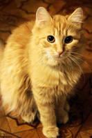 ginger cat by Zaira555