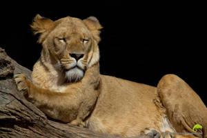 The lion sleeps tonight by Orangutan-Klaus