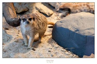 Meerkat by SKY-ia