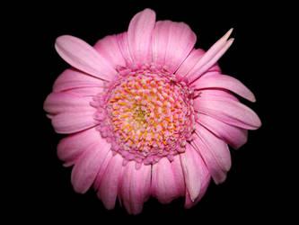 Pink whatsitsname? by lingobar