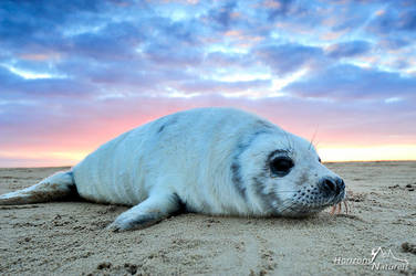 Sunset Seal - Donna Nook by Horizons-Naturels