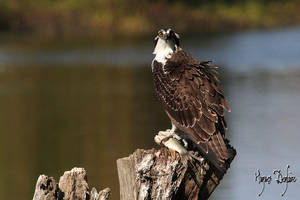 Osprey Apprentice by Robin-Hugh