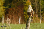 Rough-Legged Hawk by Robin-Hugh