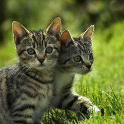 TheIncredible TwoHeaded Kitten by Aconitum-Napellus