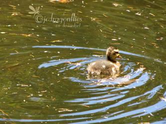 Ducks 28 by jcdragonflies