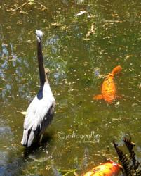 Great Blue Heron 1 by jcdragonflies