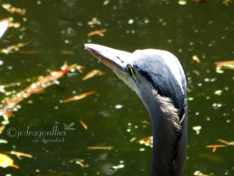 Great Blue Heron 3 by jcdragonflies