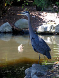 Great Blue Heron 5 by jcdragonflies