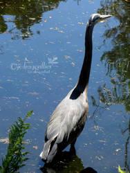 Great Blue Heron 2 by jcdragonflies