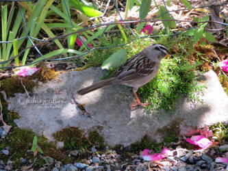 White-crowned Sparrow 3 by jcdragonflies