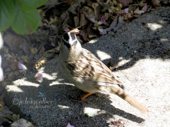 White-crowned Sparrow 4 by jcdragonflies