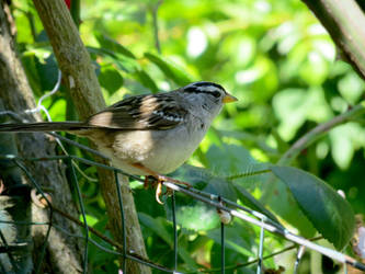 White-crowned Sparrow 5 by jcdragonflies