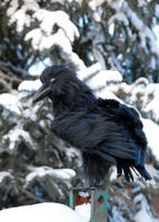 Raven Art Doll ~ Super-Realistic Poseable Creature by RikerCreatures
