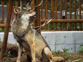 Wolf 15 by SheltieWolf