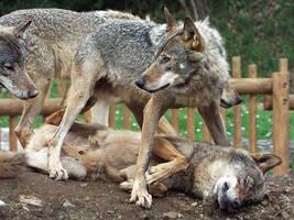 Wolf 17 by SheltieWolf