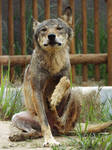 Wolf 18 by SheltieWolf
