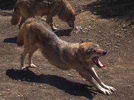 Wolf 20 by SheltieWolf