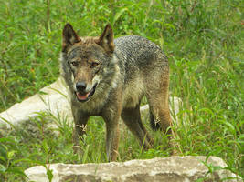 Wolf 29 by SheltieWolf