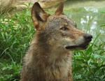 Wolf 31 by SheltieWolf