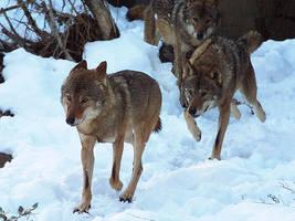 Wolf 35 by SheltieWolf
