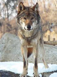 Wolf 36 by SheltieWolf