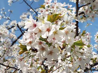 Cherry Blossom by SheltieWolf