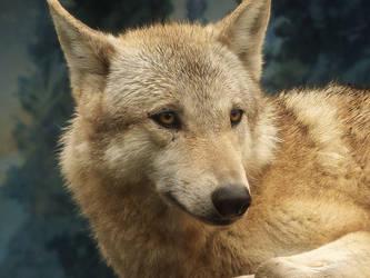 Wolf 39 by SheltieWolf