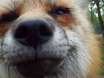 Fox's Nose by SheltieWolf
