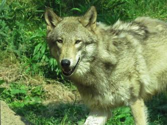 Wolf'43 by SheltieWolf