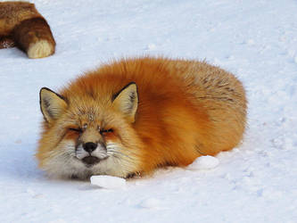 Fox Loaf by SheltieWolf