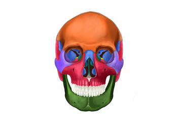 head skeleton by murattanhu