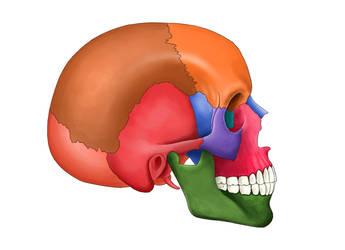 head skeleton2 by murattanhu
