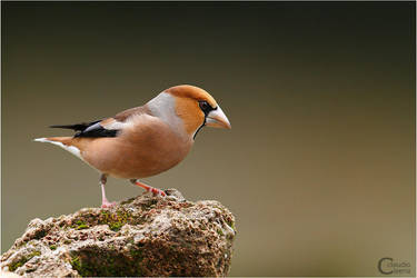 Hawfinch by ClaudeG