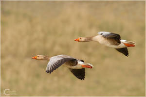 Greylag Goose by ClaudeG