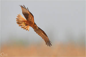 Marsh Harrier by ClaudeG