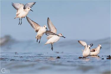 Sanderlings by ClaudeG