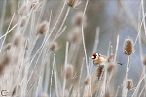 Goldfinch by ClaudeG