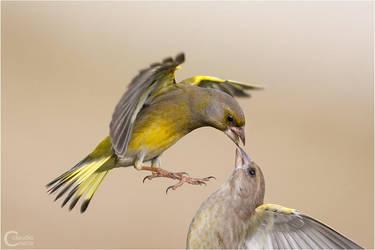 Greenfinch by ClaudeG