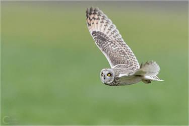 Short-Eared Owl Flight by ClaudeG
