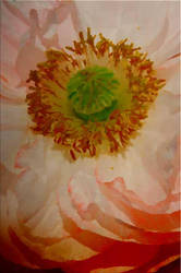 1299 Pastel Poppy by foreverartme