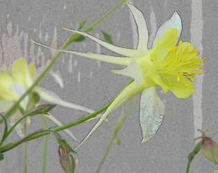 1284 Dew Columbine by foreverartme